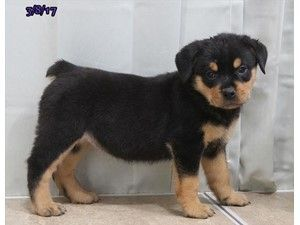 Dogs And Puppies For Sale In Ohio With Images Puppies For Sale