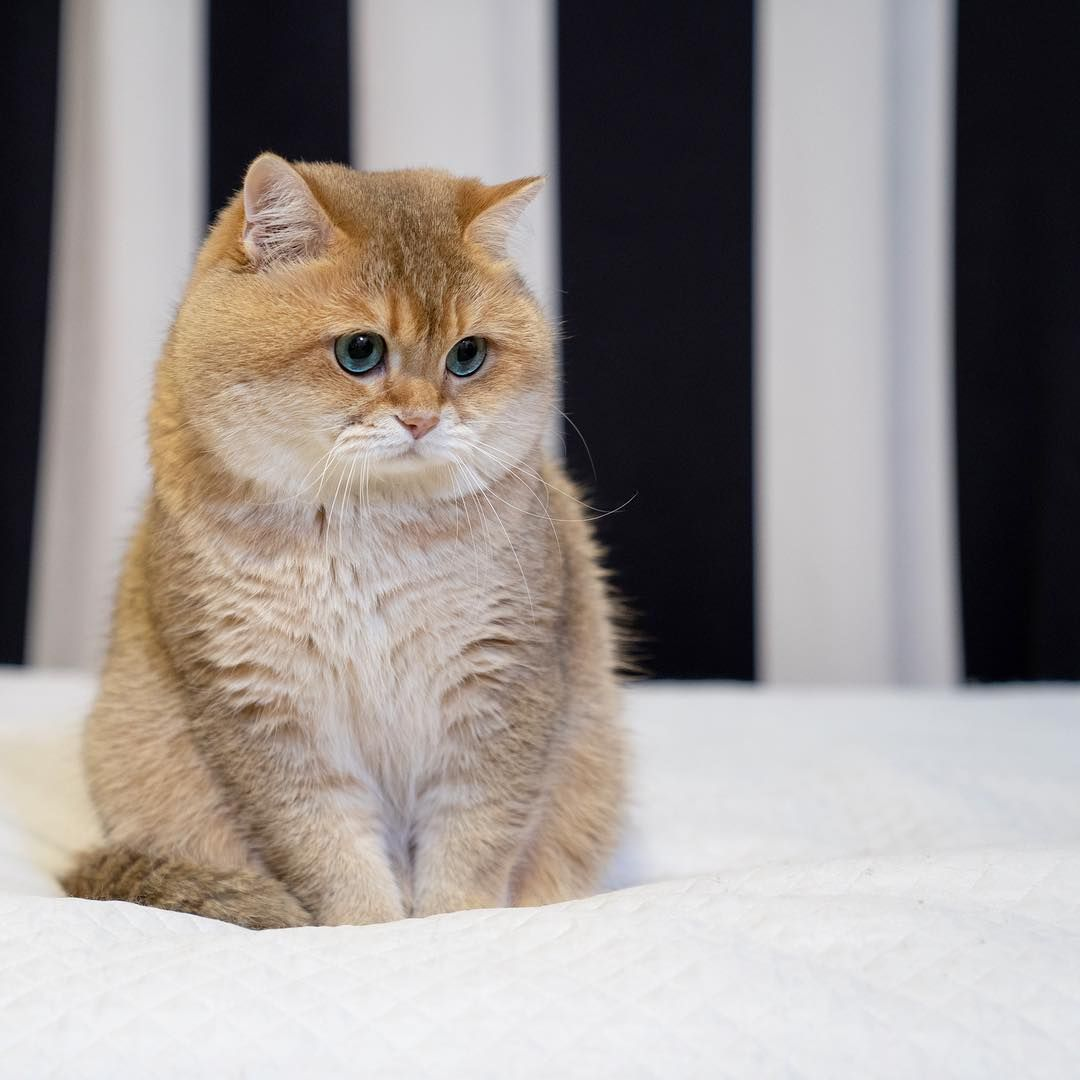 Hosico Cat Hosico Is A Gold Scottish Cat Boy He Was Born On August 4 2014 In Russia Cat Breeds Beautiful Cat Breeds Beautiful Cats