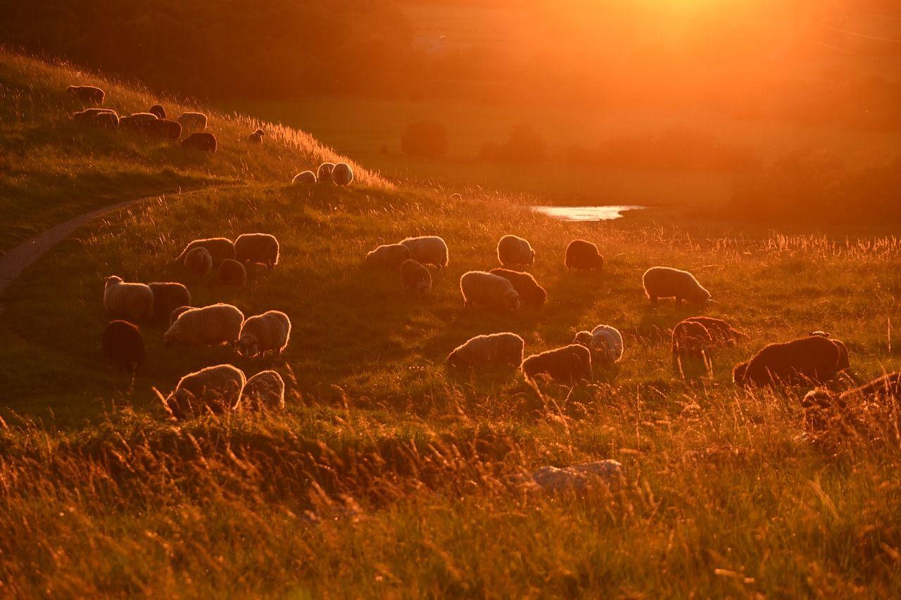 Image gratuite sur pixabay coucher de soleil moutons - Photos de moutons gratuites ...