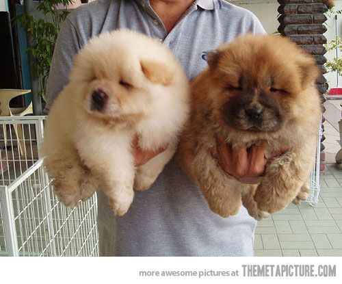 Amazing Chow Chow Chubby Adorable Dog - 605383f5d9fc2bad63c1a0651b0c074c  2018_109537  .jpg