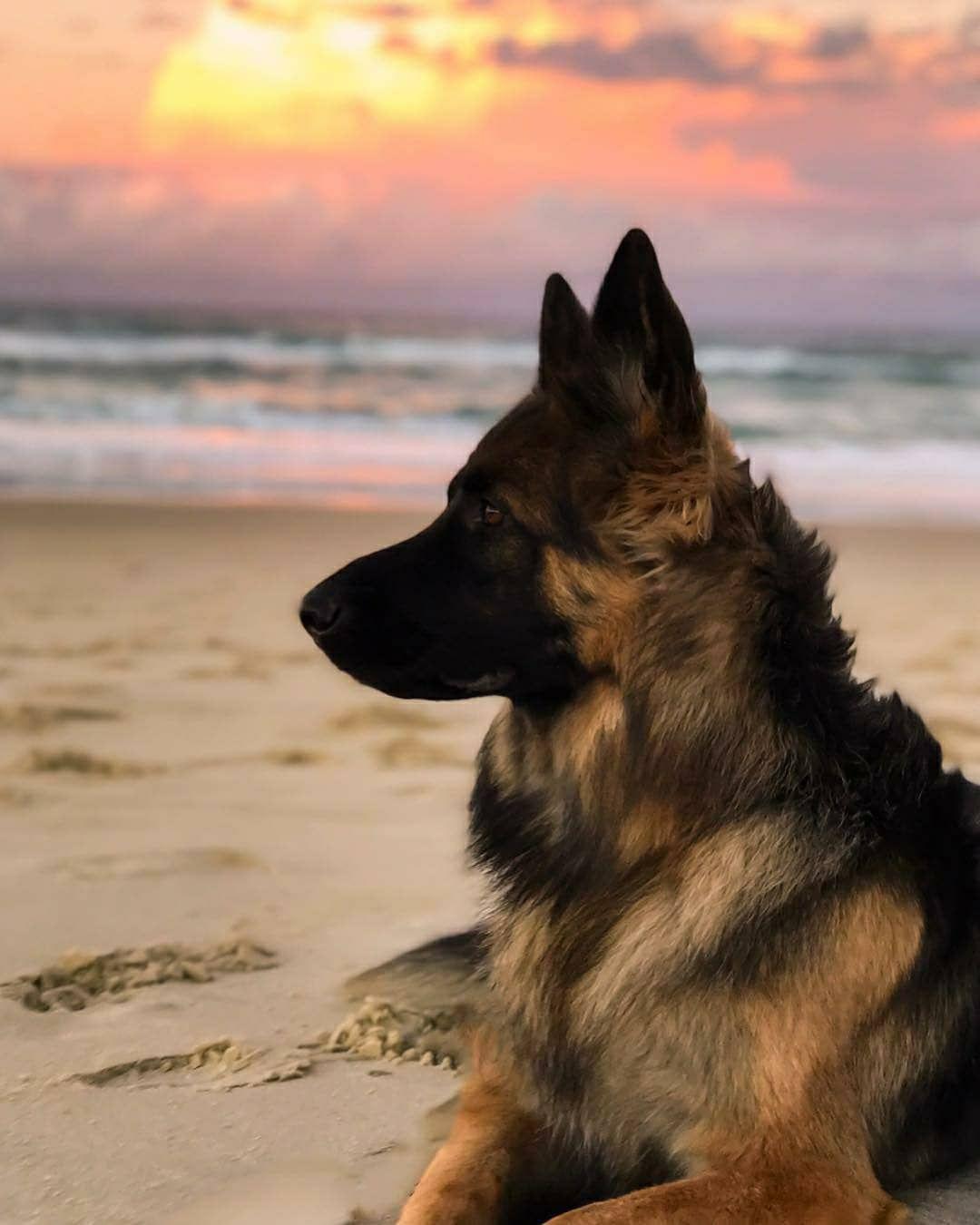 Easiest Dog Breed To House Train German Shepherd Dogs German