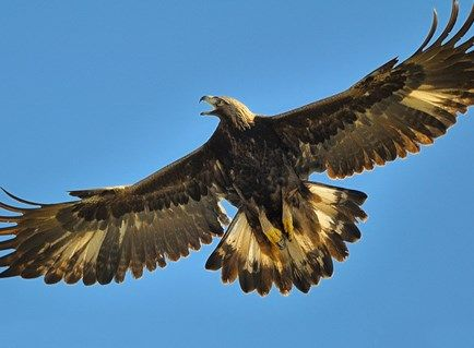 Golden Eagle, Identification, All About Birds - Cornell Lab of ... | EAGLES | Eagle, Golden ...
