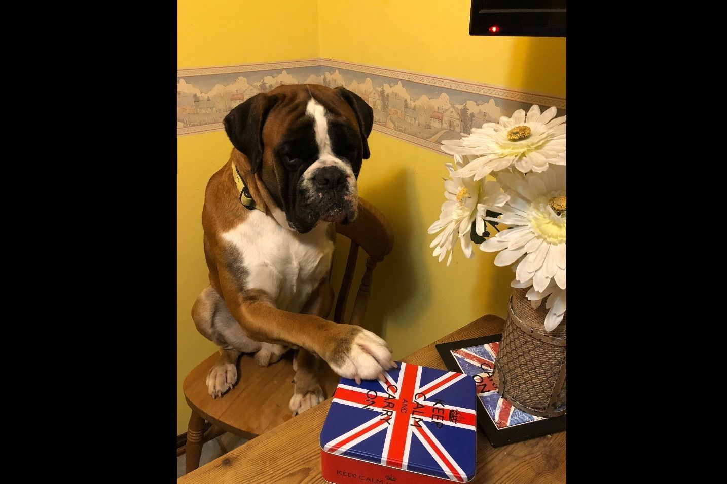 Aleman German Boxers Has Puppies For Sale On Akc Puppyfinder Boxer Puppies For Sale Boxer Puppies Puppies For Sale