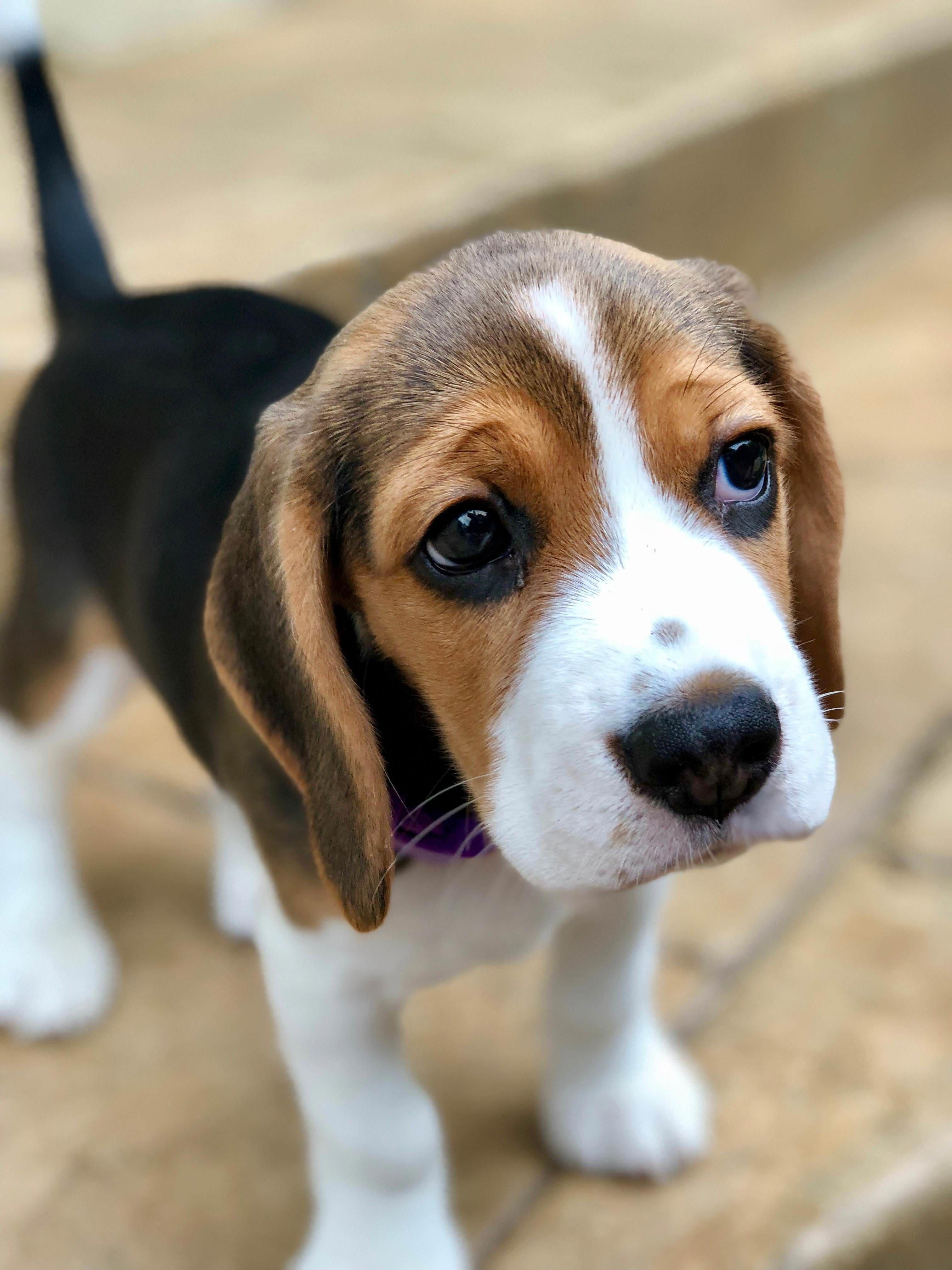 Facts On The Beagle Pups And Kids Beagleclub Seniorbeagle