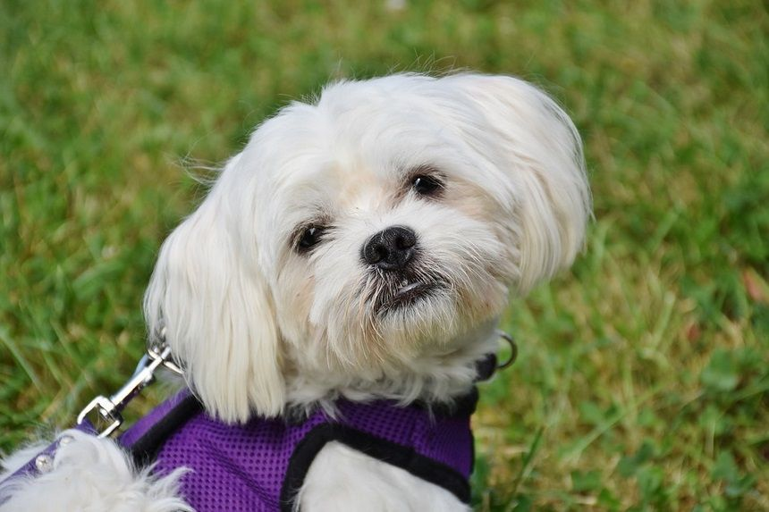 The Maltese Dog The Dog Of A Million Kisses The Maltese Dog Is