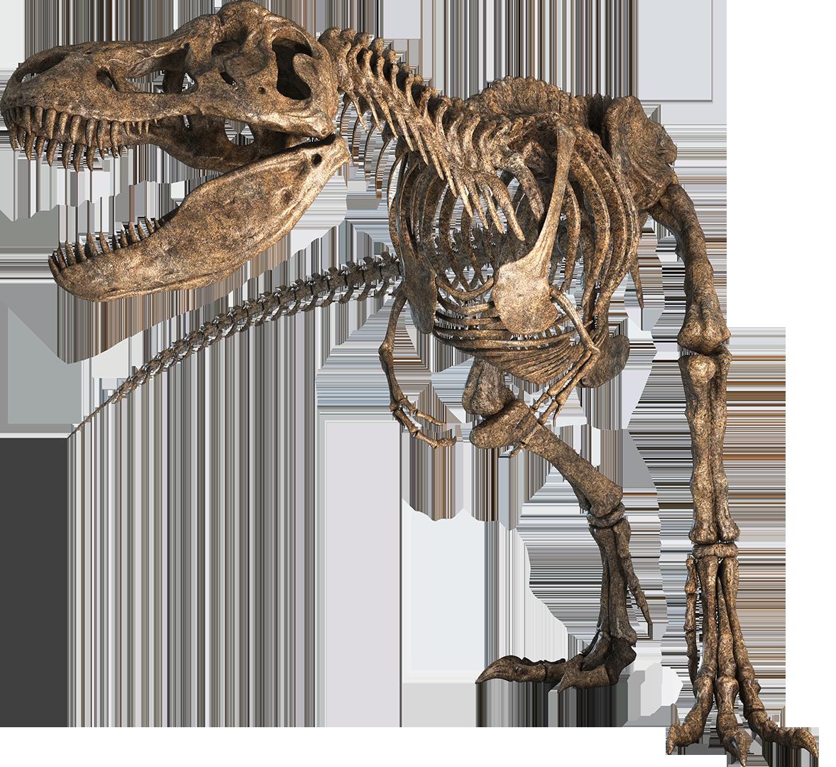 Tyrannosauruscleaner Png 1178 1080 Fossils Dinosaur Fossils Dinosaur Skeleton