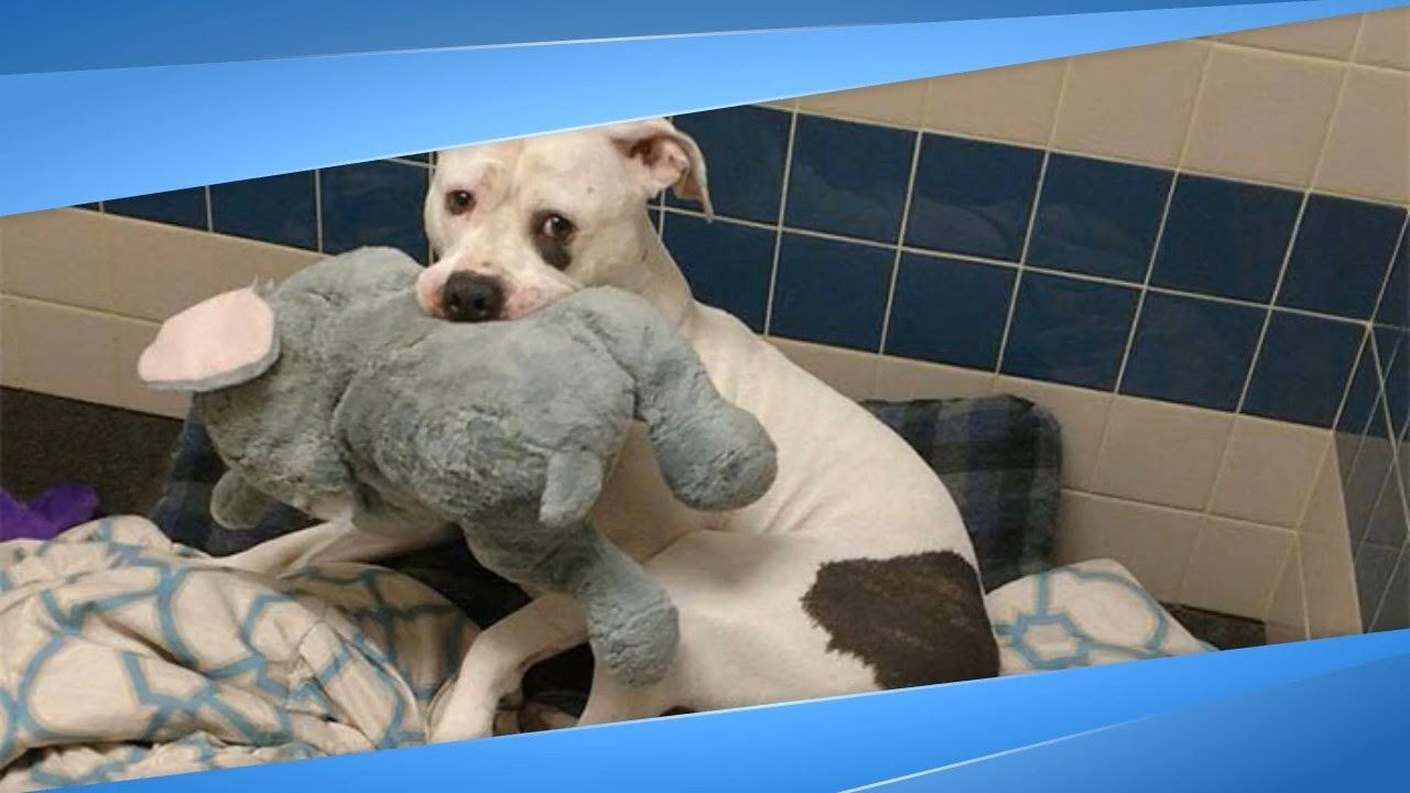 Sad Shelter Dog Just Learned He And His Elephant Are Going Home ...   Toy Dog Rescue Atlanta