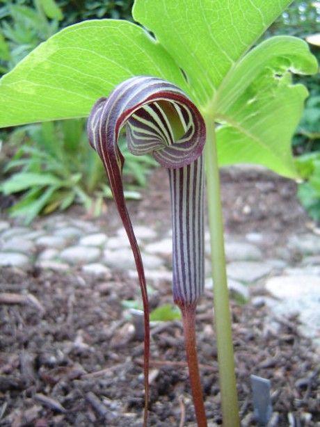 Cultivo y cuidados de la arisaema plantas flores for Vivero de plantas exoticas
