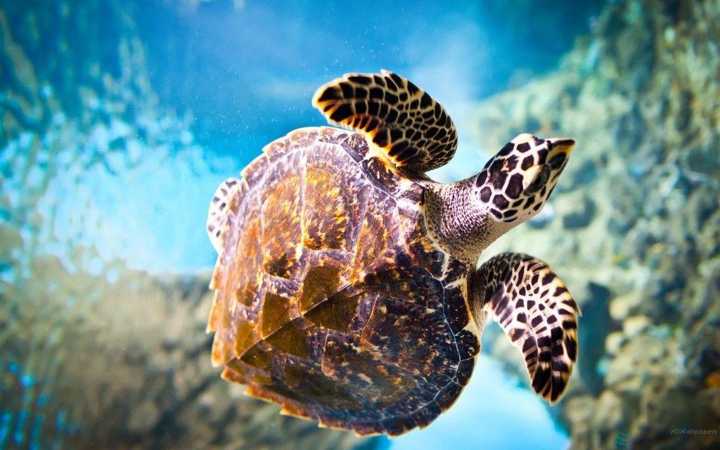 Sea Turtle Desktop Hd Wallpaper Hd Wallpapers Hd Backgrounds Turtle Wallpaper Sea Turtle Wallpaper Underwater Wallpaper