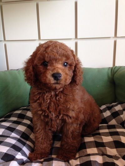 Red Poodle Puppies Boca Raton Hypoallergenic Dog Breed Red