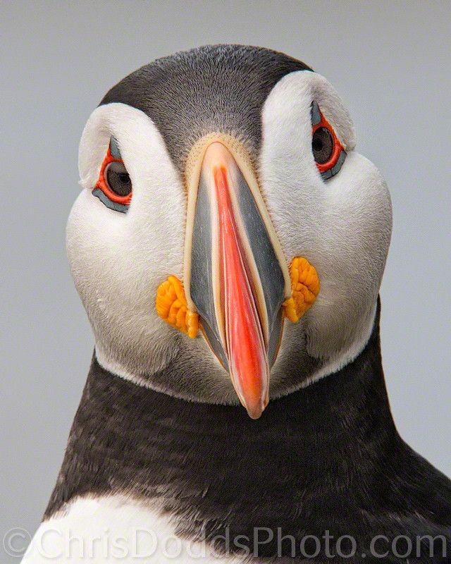 Atlantic Puffin.  They spend most of their time at sea, using their wings as paddles.  by Christopher Dodds
