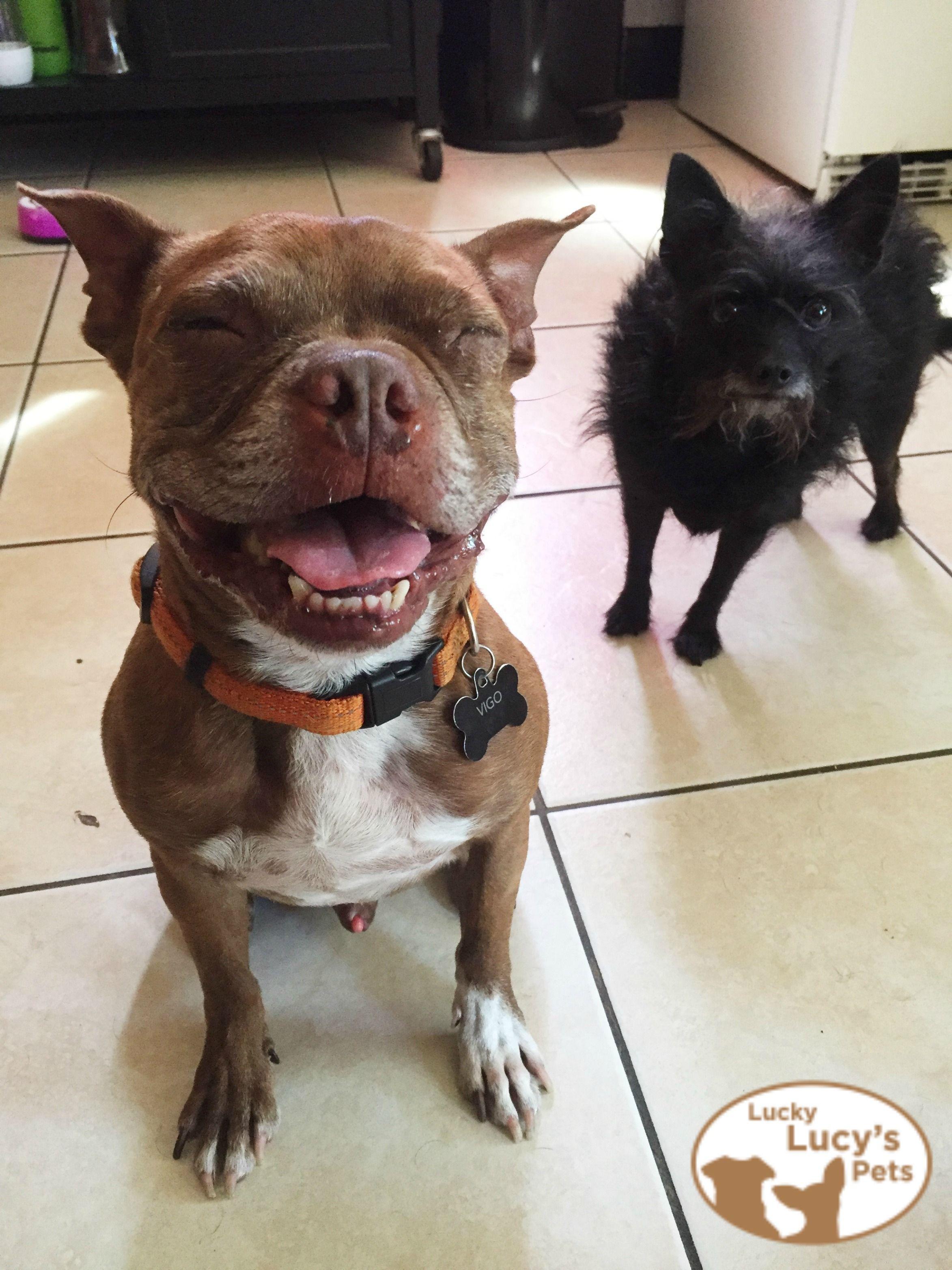English Bulldog Puppies Medford Oregon 2021