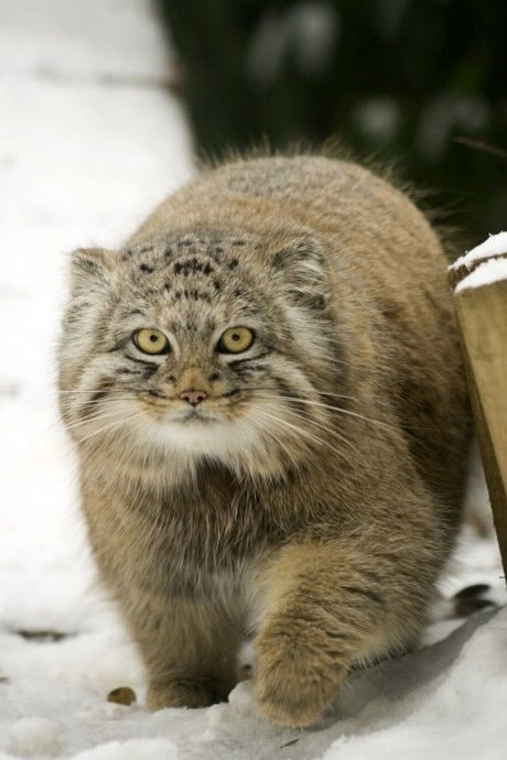 Pallas cat otocolobus manul i just discovered this breed of wild pallas cat otocolobus manul i just discovered this breed of wild cat and can publicscrutiny Images
