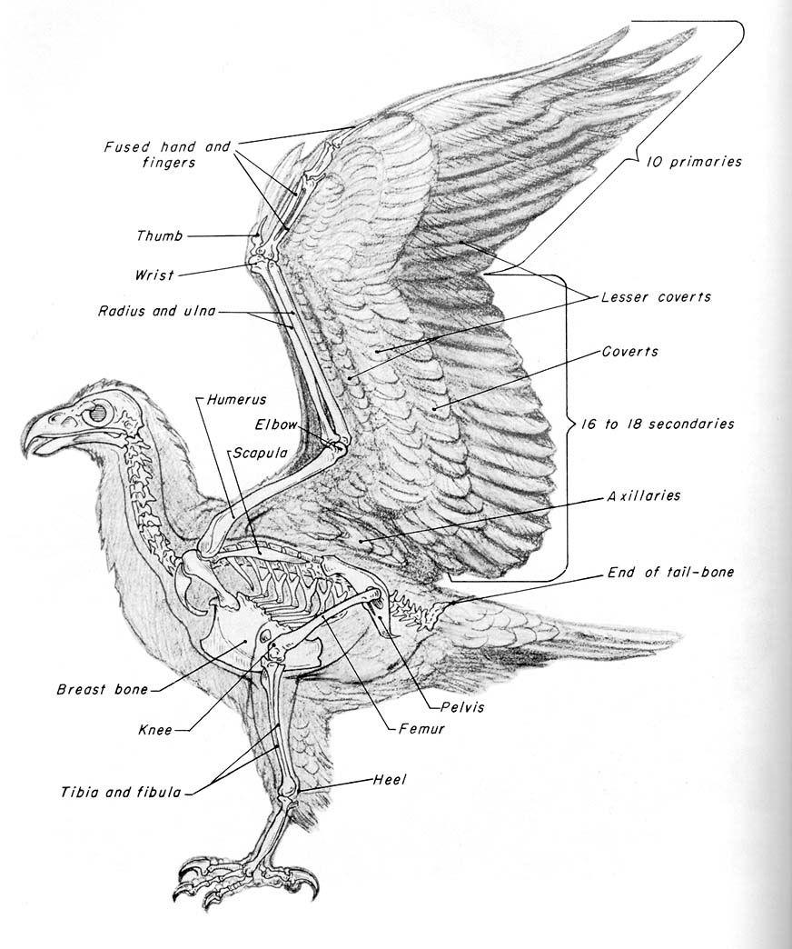 Pigeon Bone Anatomy Diagram - Block And Schematic Diagrams •