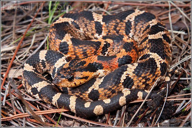 Eastern Hognose Snake Heterodon Platirhinos Hognose Snake Snake Reptile Snakes