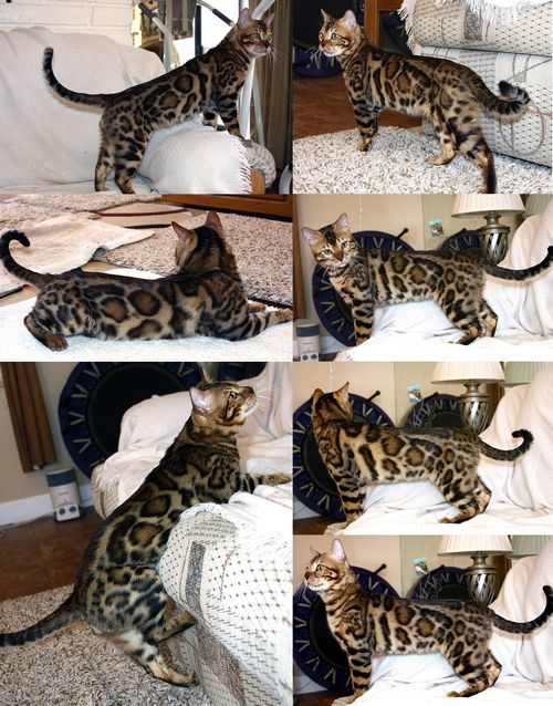 Retired Bengals For Sale Bengal Kittens For Sale Bengal Kitten Bengal Cat Kitten
