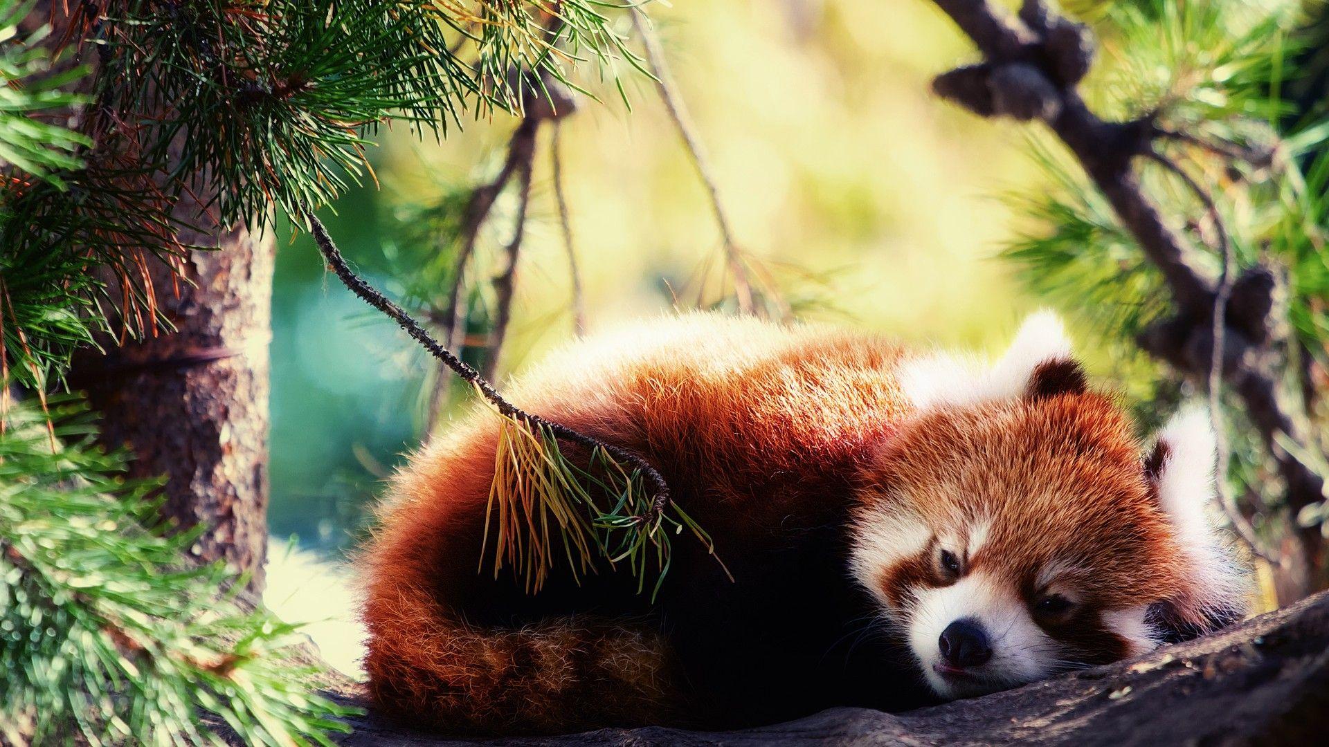 Skachat Oboi Krasnaya Panda Firefox Spit Razdel Zhivotnye V Razreshenii 1920x1080 Red Panda Panda Wallpapers Panda Background Wallpaper red panda trunk tree nature