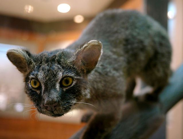 Iriomote Cat |  approximately the size of a domestic cat and very rare ~ approximately 100 remand | Iromote Island, Japan