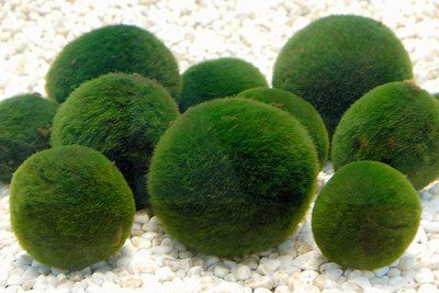 Marimo Marimo Marimo Moss Ball Pretty Plants