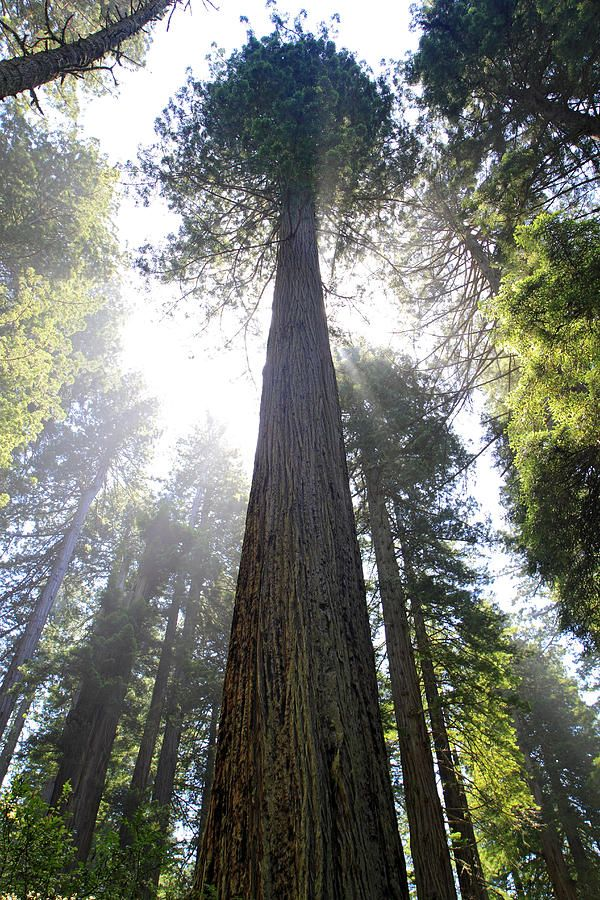 Google Image Result for http://images.fineartamerica.com/images-medium-large/tall-trees-of-redwood-national-park-pierre-leclerc.jpg