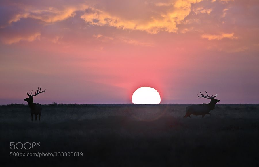 Sun Up - Pinned by Mak Khalaf The sun rises on a pair of bull elk on the Wyoming range. Nature Brad CheeseElkSunriseWyomingbeautifulskysunset by wyoavalanche
