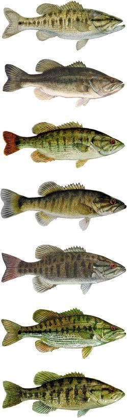 Free Bass Lures Know Your Bass Learn Various Species Of Bass Fish Bass Fishing Largemouth Bass