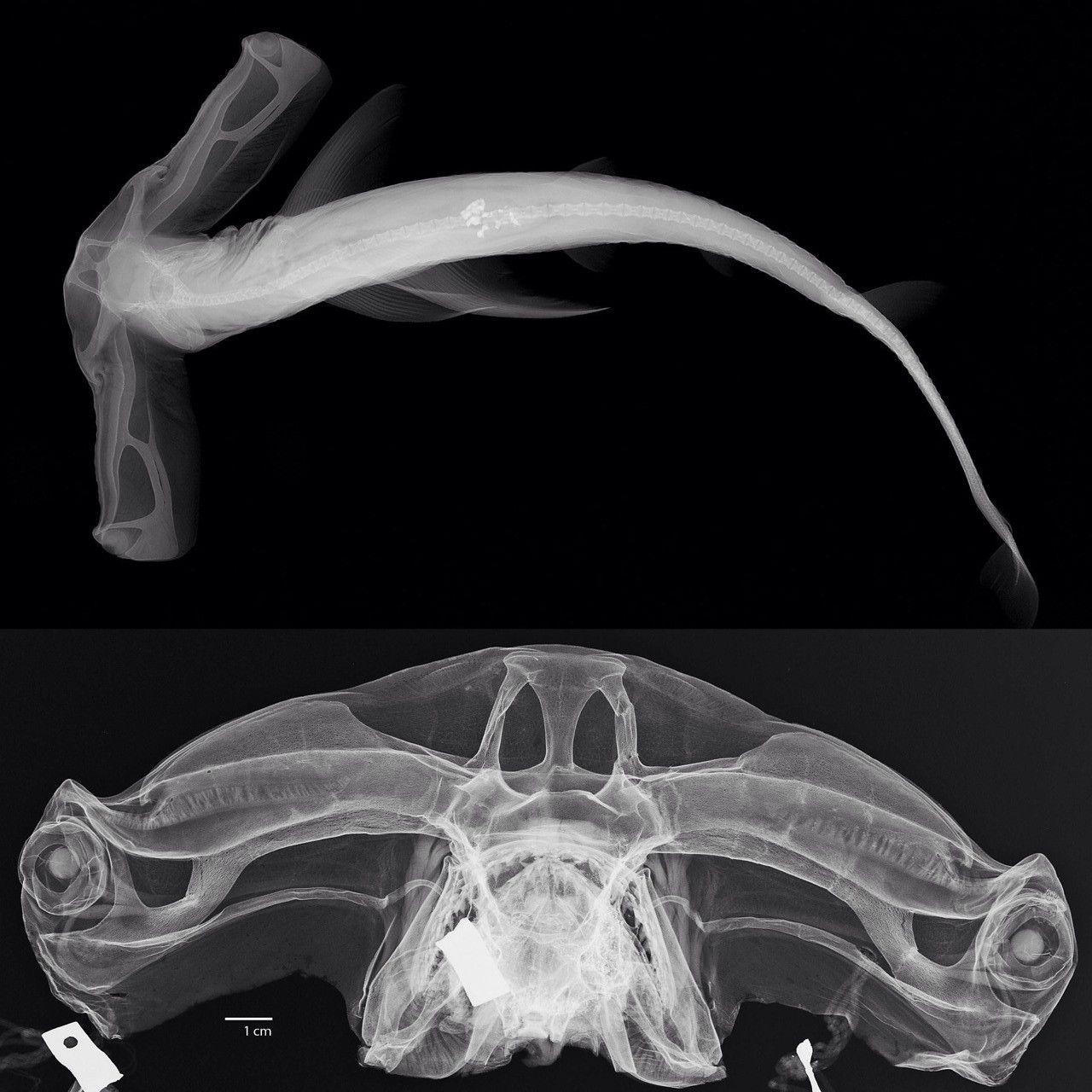 Hammerhead Shark X-Ray | Tiburones, Jurasico y Rayo