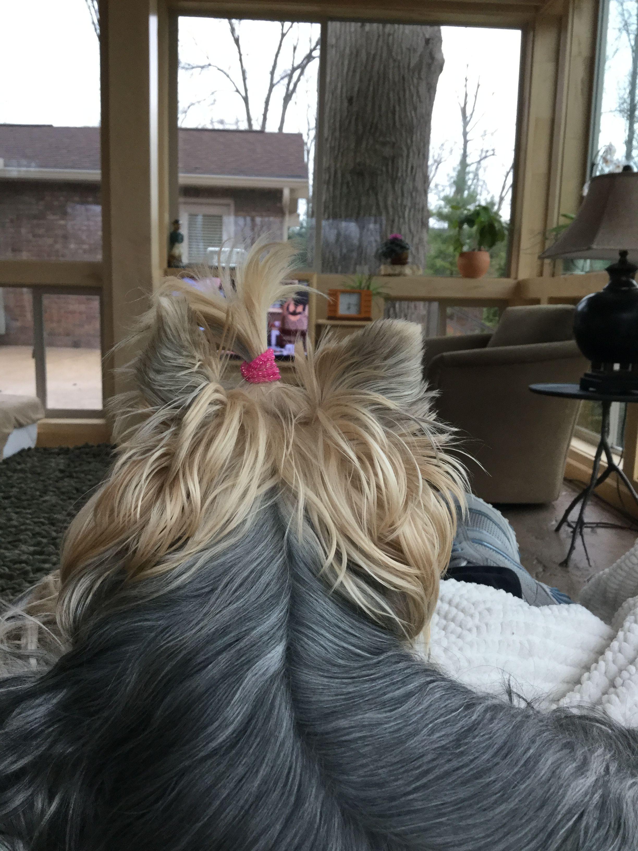 Cali yorkie terrier yorkshire terrier yorkie dogs