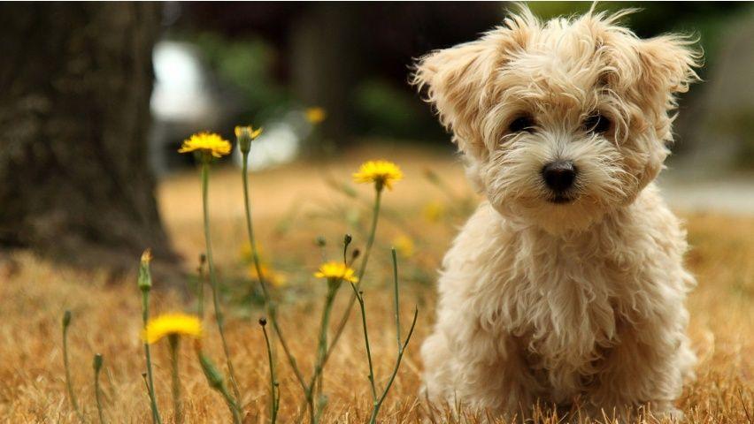 Norfolk Terrier & Toy Poodle mix ) | Pet Life | Fluffy