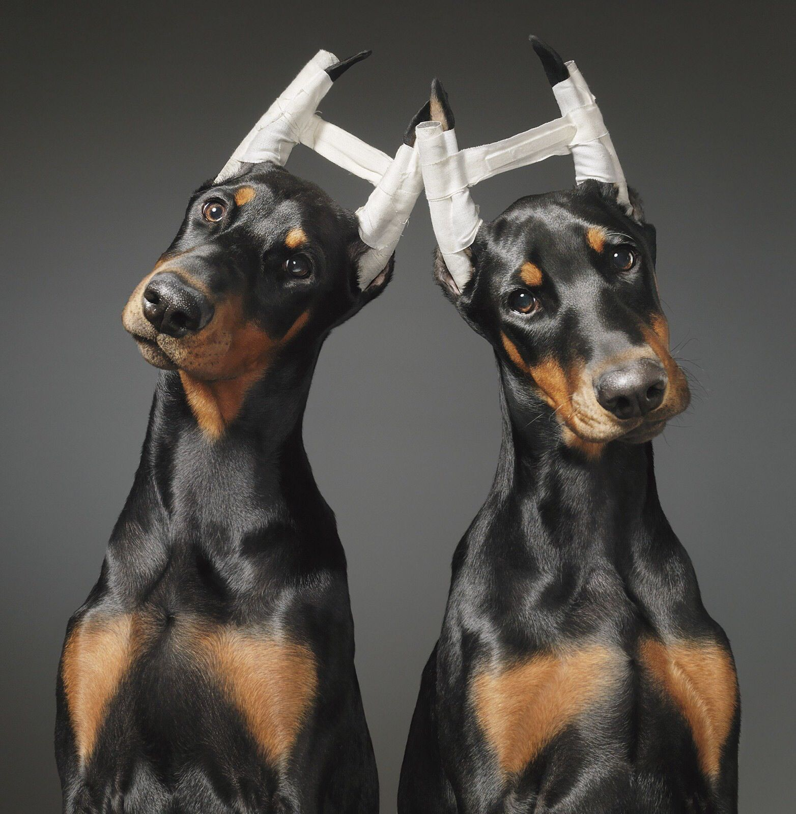 All Taped Up Photography By Tim Flach Two Doberman Puppies Have