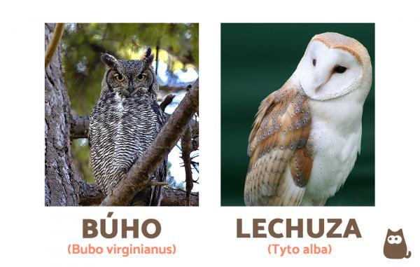 Diferencias Entre Buho Y Lechuza Lechuzas Buhos Animales Bonitos