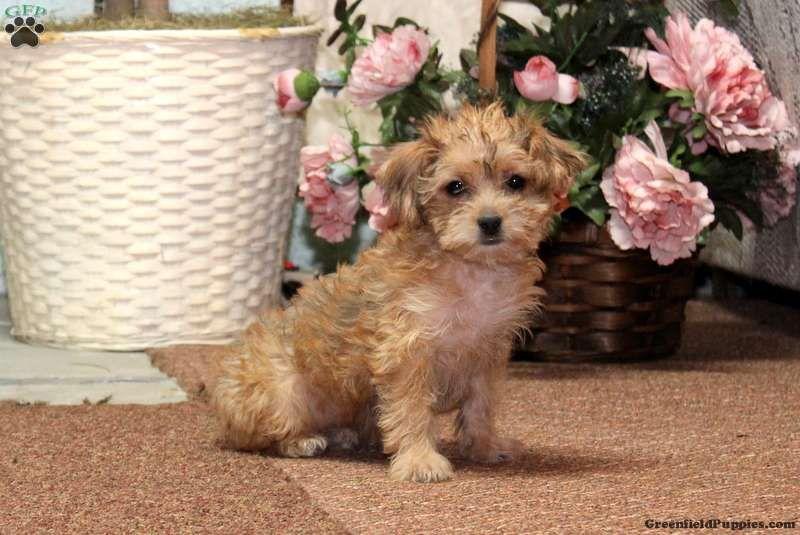 Teddy Bear Pomeranian Puppies For Sale In Pa 2021