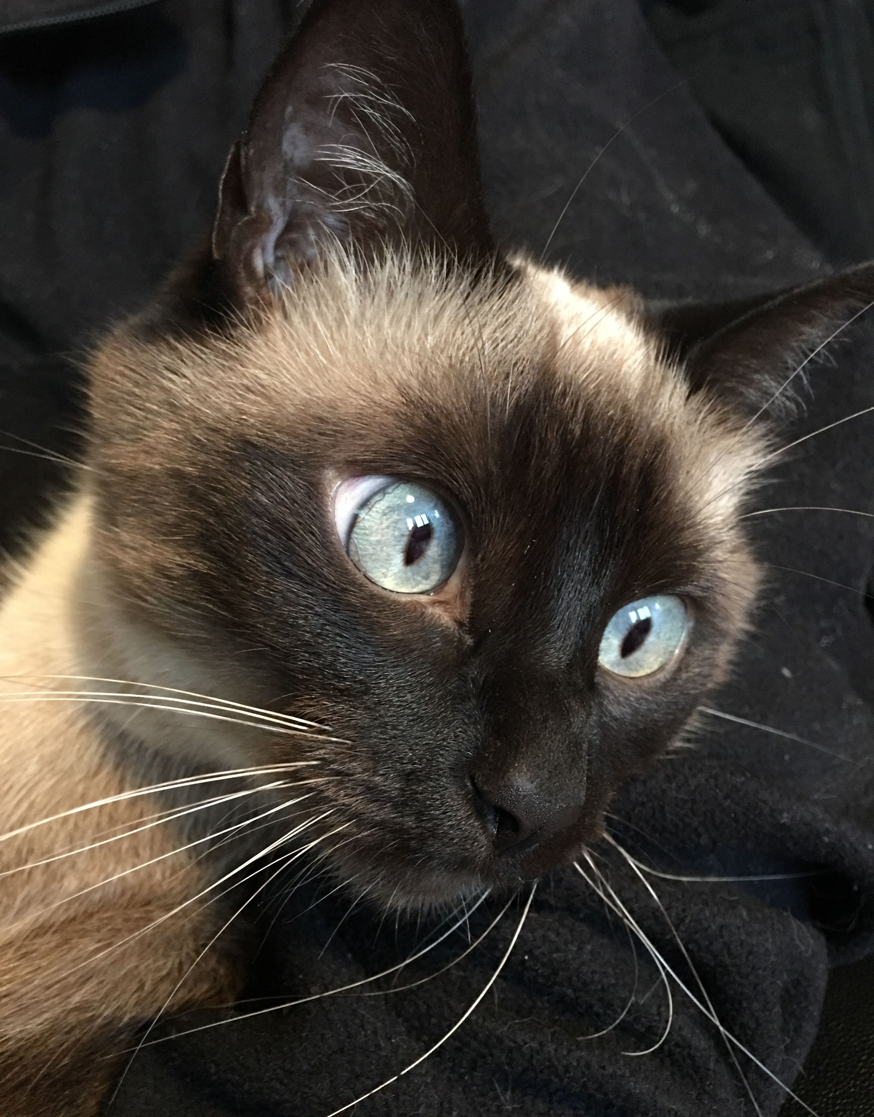 SiameseCat Cat breeds siamese, Cats, Cats and kittens
