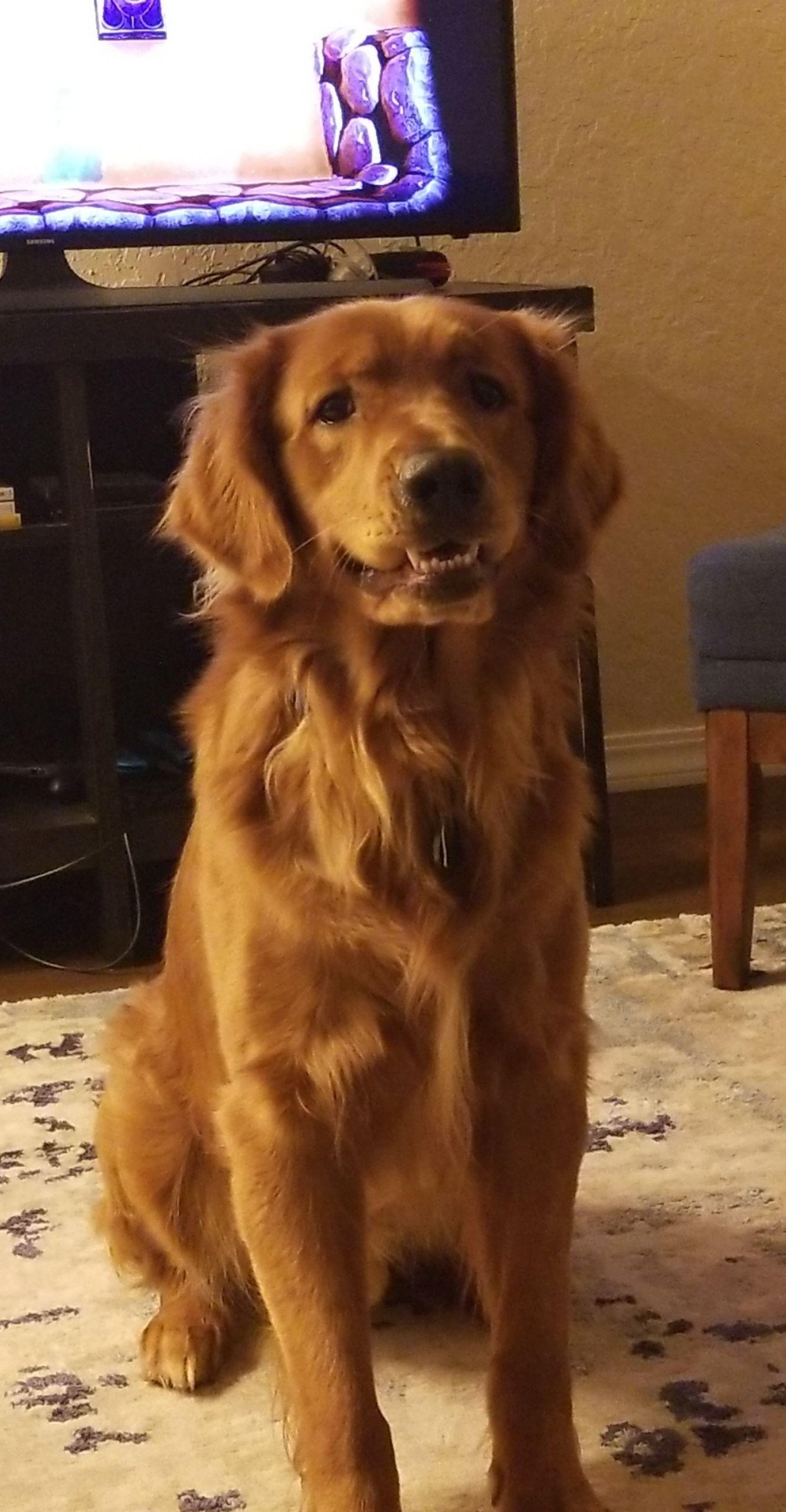 "My golden derp says ""henlo!"" goldenretriever Dogs"