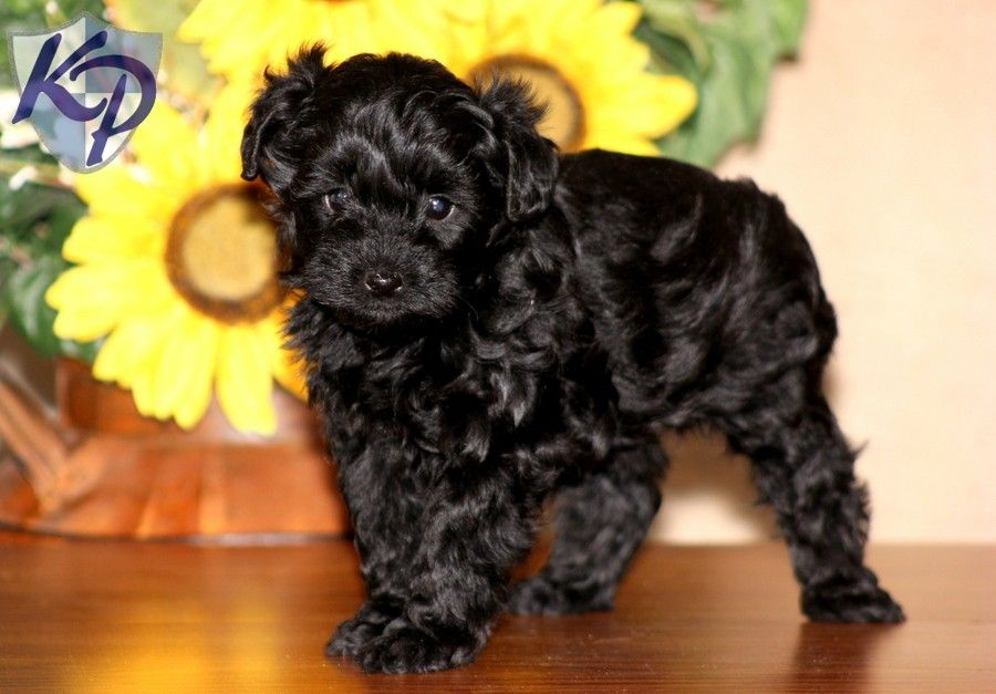 Puppy Finder Find Buy A Dog Today By Using Our Petfinder Yorkie Poo Yorkie Poo Puppies Puppies