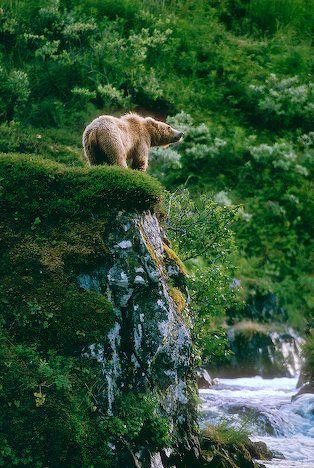Kodiak Bear in Alaska #bears