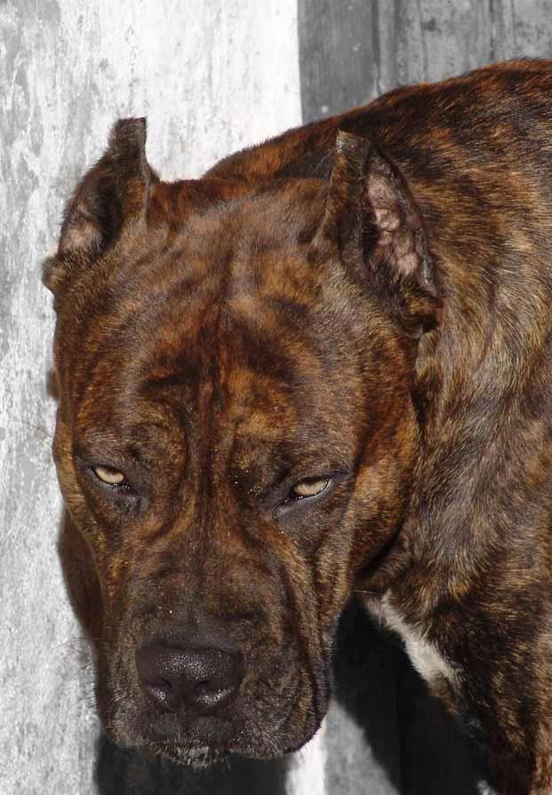 Alano Espanol Spanish Bulldog Seems Tired With Images Spanish
