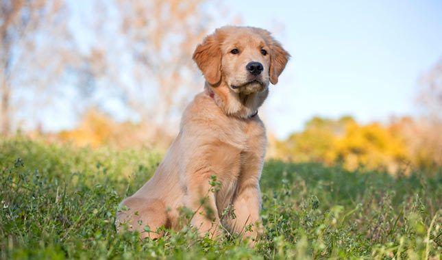 Golden Retriever Top 10 Dog Breeds Beautiful Dog Breeds Golden Retriever