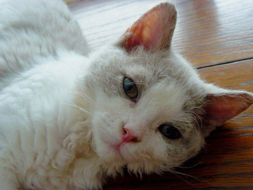 Le Chat Blanc Les Lilas Restaurant Reviews Photos Le Chat Blanc Les Lilas Accessibilite Detai In 2020 Cats Animals