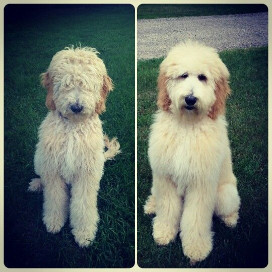 Goldendoodle Before And After Love The Shaggy Look On These