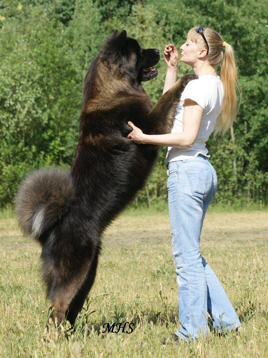 Long coat akita- what an amazing color, he could really be mistaken for a bear!