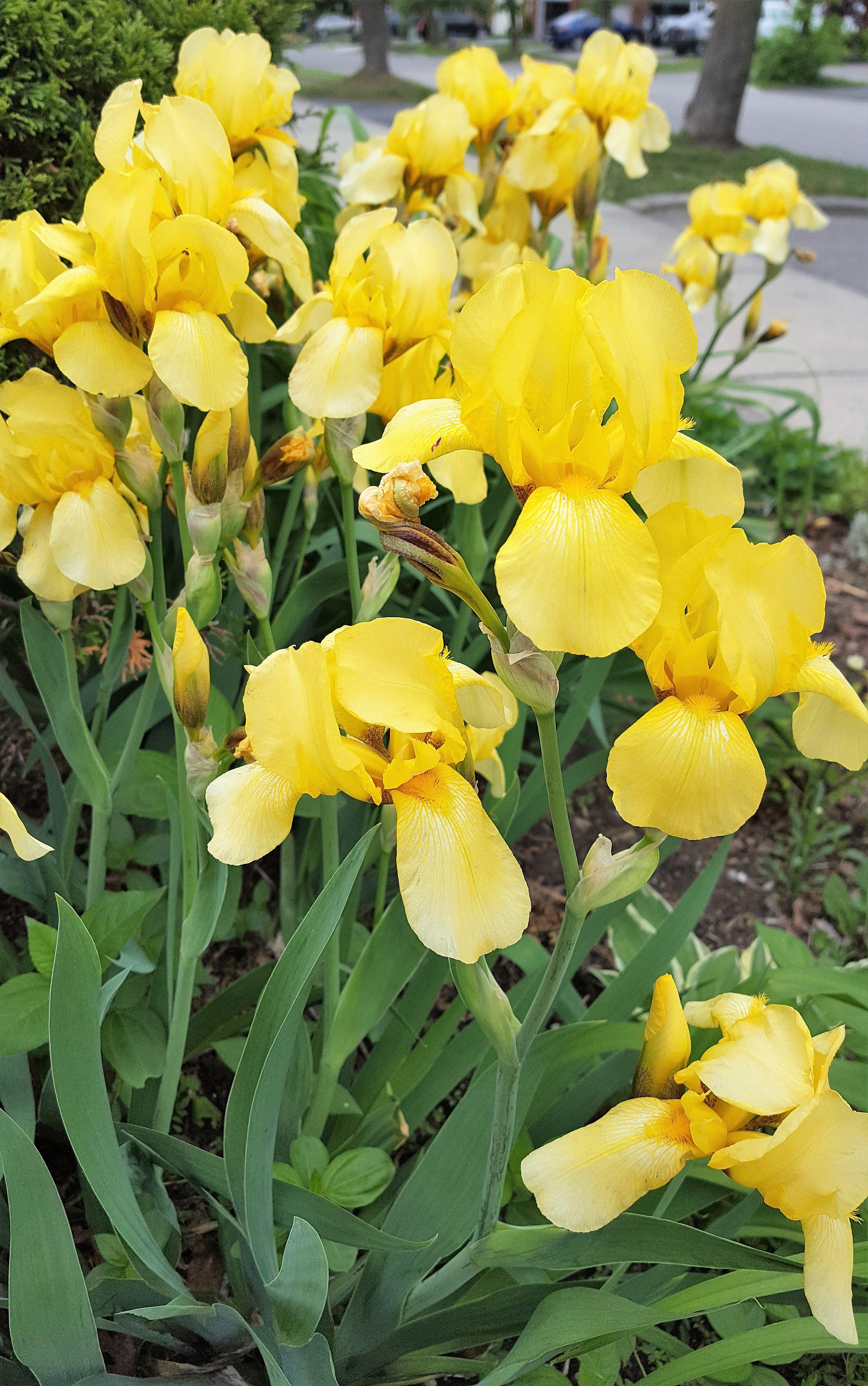 Yellow Iris Blooms Flowers Iris Yellow Inspiration Flower