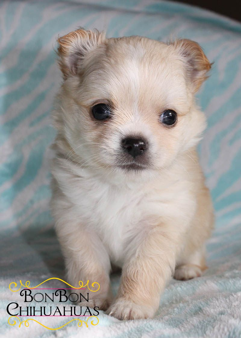 Chihuahua Puppies For Sale Chihuahua Puppies Puppies Kitties