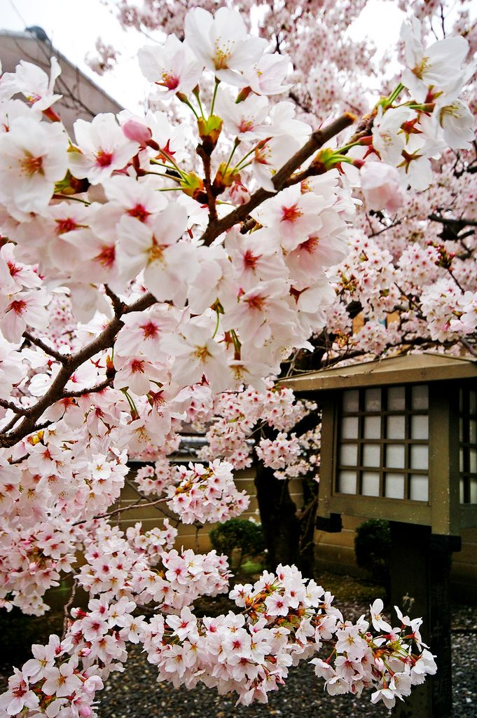 Imgp2207 Sakura Cherry Blossom Beautiful Flowers Blossom Trees