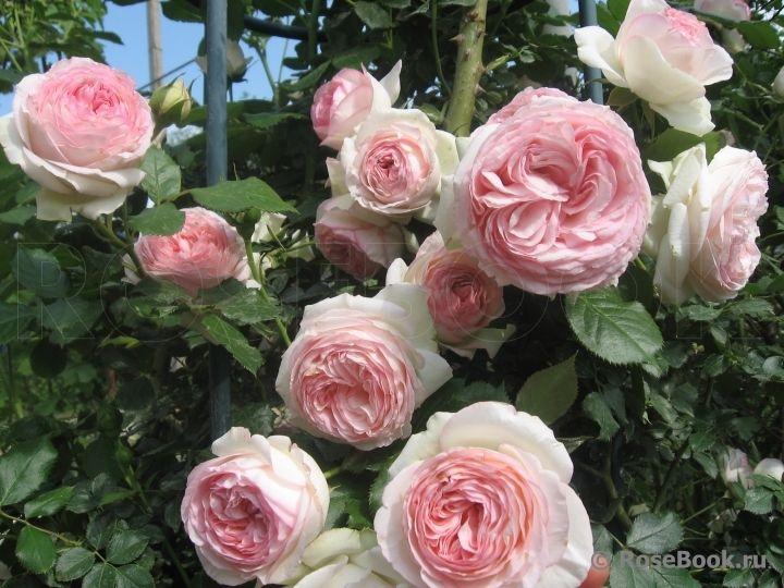 pierre de ronsard meiviolin eden rose 88 eden rose 85. Black Bedroom Furniture Sets. Home Design Ideas