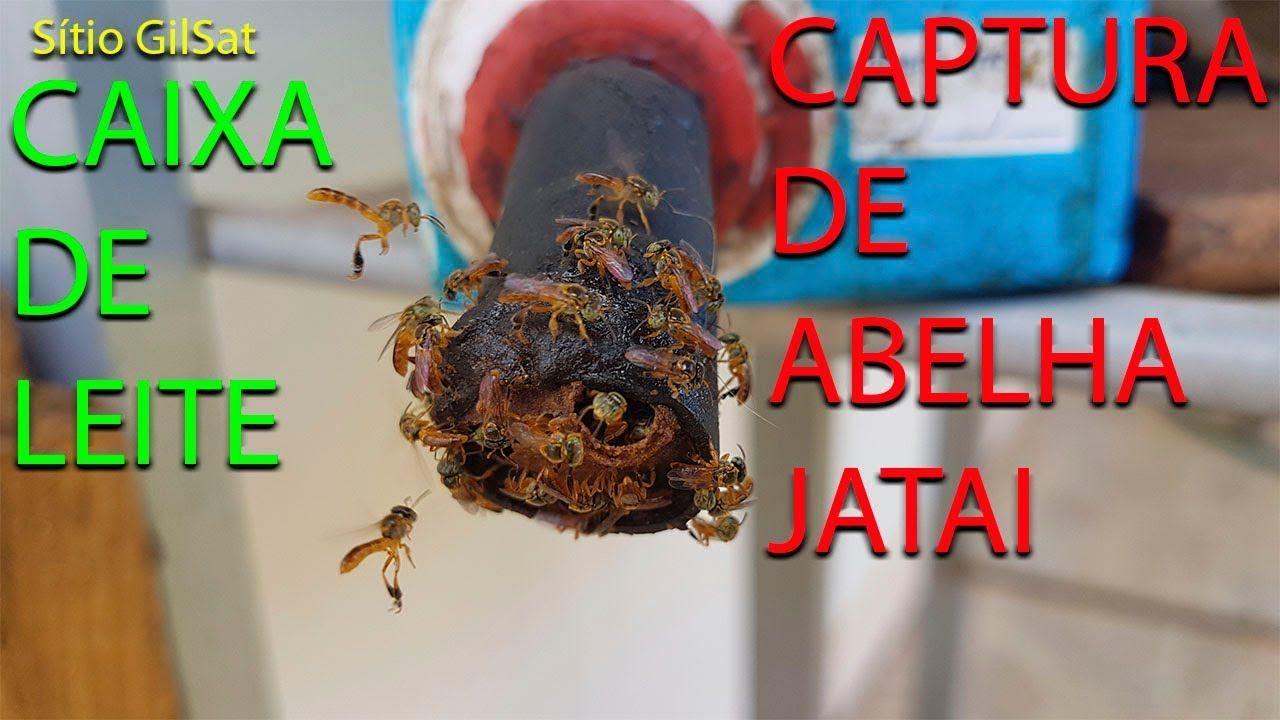 Resultado Da Captura Da Abelha Jatai Na Caixa De Leite Sitio