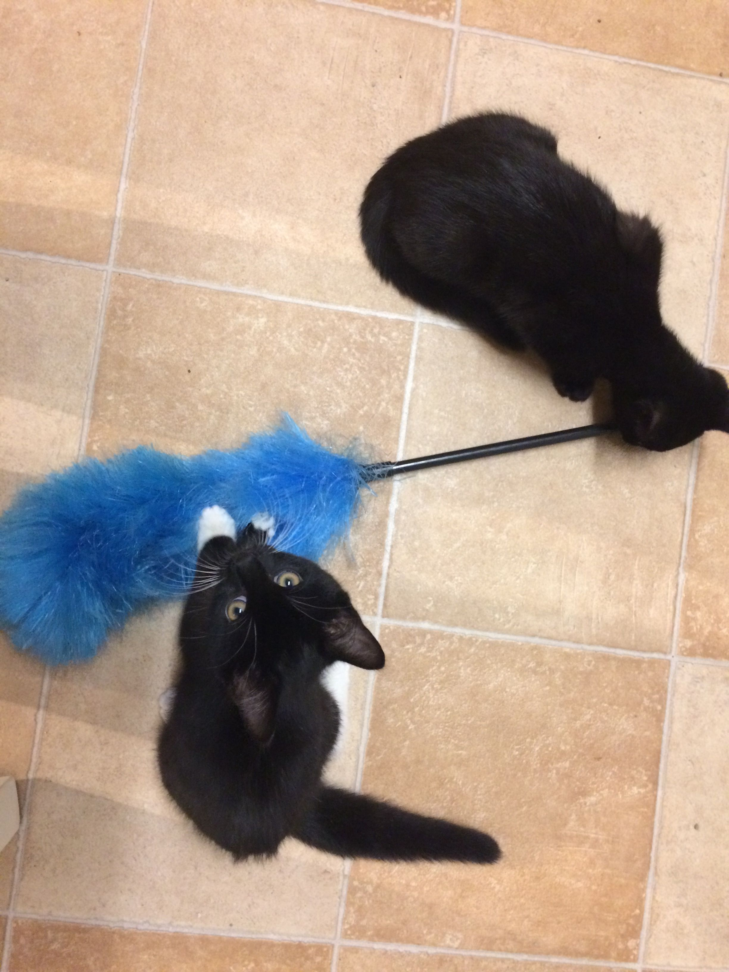 10 Things That Are Near Impossible To Do When You Have 2 Crazy Kittens Number 4 Housework Crazy Cats Black Kitten Kittens