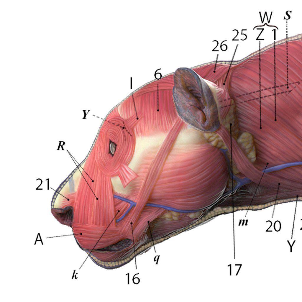 Jaguar Anatomy Chart Animal Anatomy, Jaguar Leopard, Drawing Practice, Big  Cats, Leopards