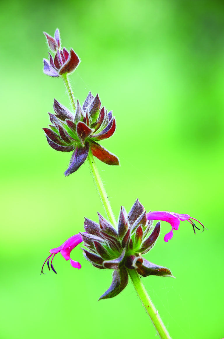 Best salvias that draw the most hummingbirds garden paths