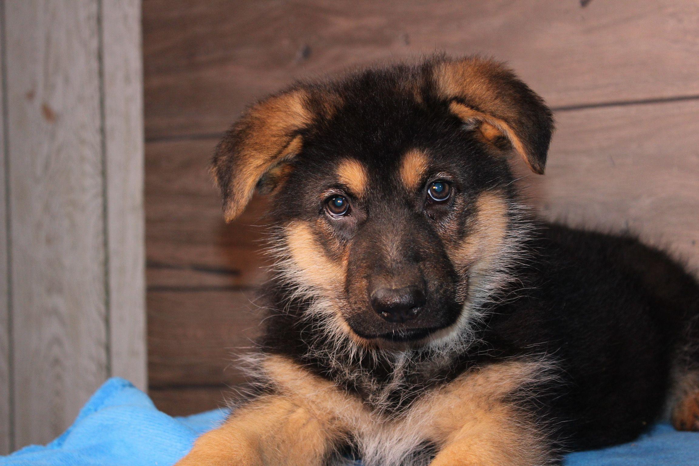 Samson A Male Akc German Shepherd Puppy For Sale In Nappanee Indiana Find Cute German Shepherd Puppies And Resp German Shepherd Dogs Bulldog Breeds Puppies